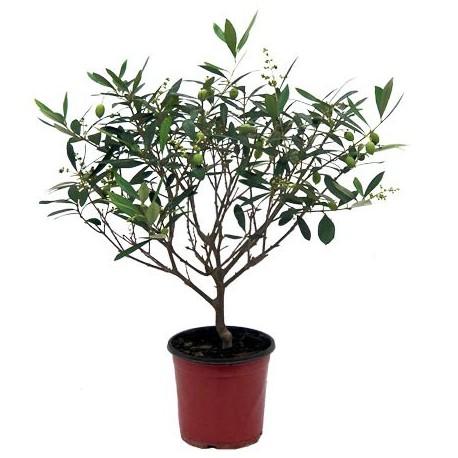 location olivier arbre deco facile location reception With eclairage exterieur pour arbre 9 location olivier arbre deco facile location reception