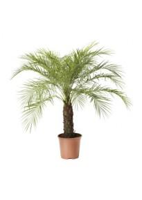 Palmier Phoenix Robelinii