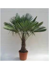 Palmier Rustique