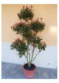 Photinia pompons