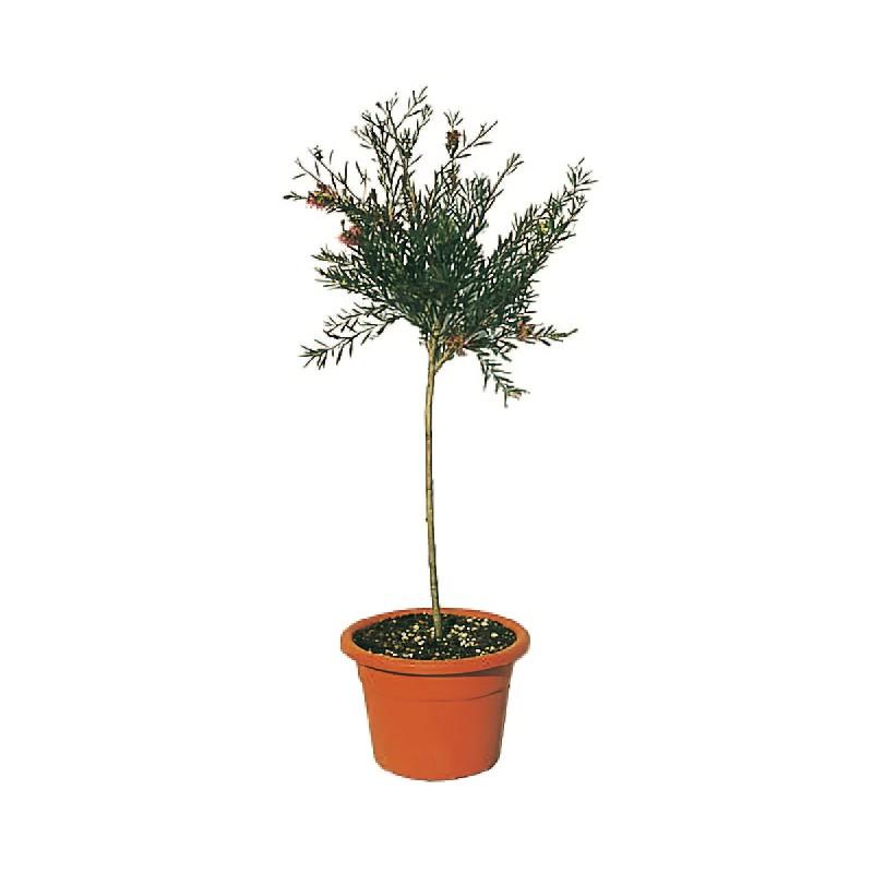 Location de plantes mariage pas cher for Mini plante pas cher